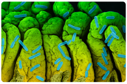 Bacteria Escherichia coli en la superficie del intestino