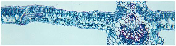 Corte transversal de la hoja de la soya