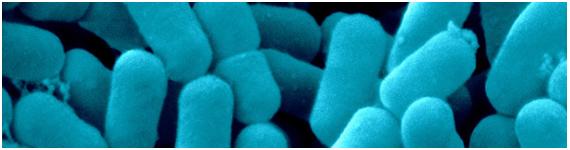 Microfotografía de Lactobacillus sp.