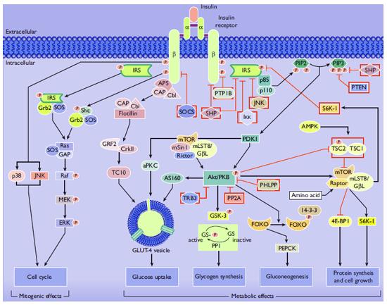 Esquema de las Vías de señalización de la insulina implicadas en efectos metabólicos y mitógenos