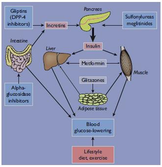 Principales tejidos donde los agentes antidiabéticos orales actúan