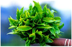 Hojas frescas de Té verde (Camellia sinensis var. sinensis)