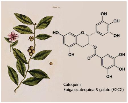 Ilustración de Camellia sinensis (Molécula de catequina epigalocatequina-3-galato)
