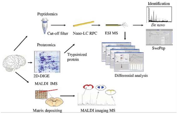 Esquema del flujo de trabajo entre la Proteómica, Peptidómica y la técnica de MALDI MS, la cual permite el mapeo simultáneo de péptidos y proteínas cortas en pequeñas secciones de tejido