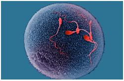 Gameto masculino fecundando al gameto femenino