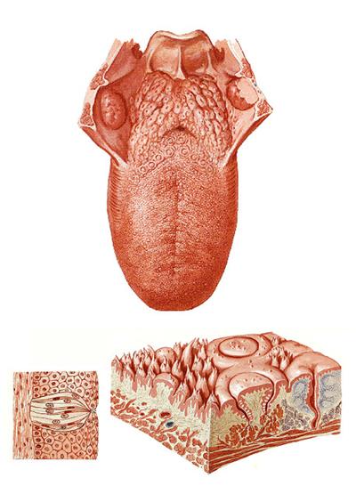 Anatomía de la lengua y las papilas gustativas