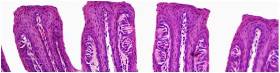 Seccion de la lengua mostrando las papilas foliáceas