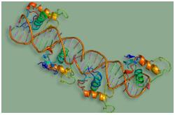 Receptor retinoide X (RXR-Alfa), también conocido como NR2B1