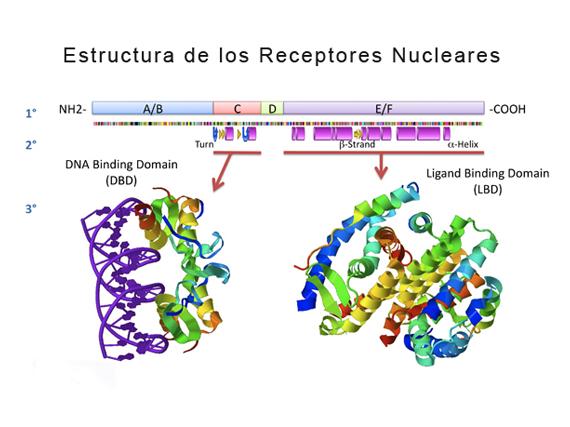 Estructura de los receptores nucleares