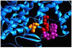 Citrato sintetasa y CoA (ADP3'-fosfato) en morado CoA(Ácido pantoténico) en rojo