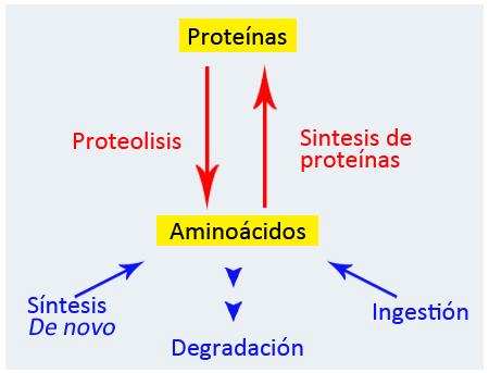 Sistema bioquímico involucrado en la homeostasis de proteínas y amino ácidos