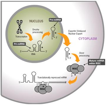 Procesamiento y actividad de miRNA