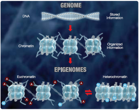 Modificaciones epigenéticas heredables que regulan la expresión genética
