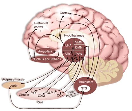 Relación entre tallo cerebral, hipotálamo, áreas corticales y sistema de recompensa que controlan el apetito