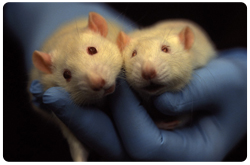 La identificación de genes modificadores es util para enteder que llevan de una mutación primaria a un fenotipo de enfermedad