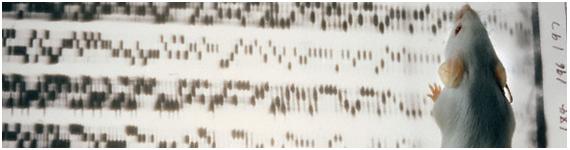 Una interacción gen-gen documentada en una ruta de obesidad es entre las mutaciones de ratón obeso (ob) y diabetes (db)