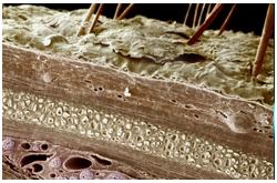 Microfotografia de la piel humana