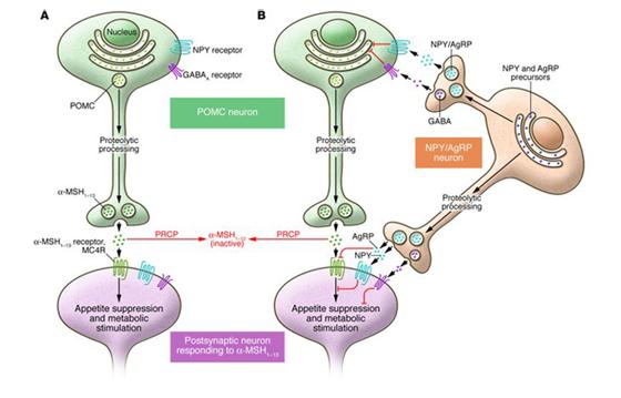 Circuito neural en el hipotalámo que regula el apetito y el metabolismo: (A) Ruta POMC (B) Activación del neuropeptido NPY/AgRP