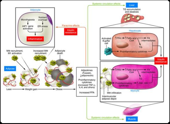 Obesidad, inflamación y resistencia a la insulina