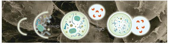 La autofagia es un proceso celular conservado crítico para mantener la homeostasis celular