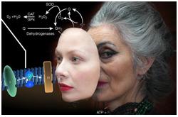 Las concentraciones bajas a moderadas de oxidantes, como los producidos durante el ejercicio, afectan benéficamente el desarrollo de resistencia, el envejecimiento y el síndrome metabólico