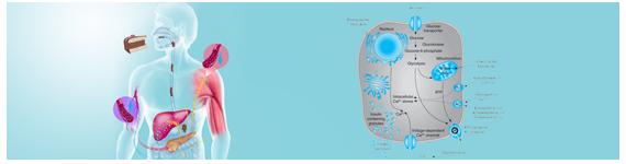Los sistemas de órganos involucrados en la regulación del metabolismo de la glucosa incluyen: 1) el tracto gastrointestinal, 2) el sistema pancreático endocrino, 3) el sistema hepático, 4) el sistema nervioso central, y 5) los tejidos musculoesquelético y adiposo