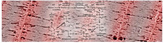 La glicólisis involucra varias reacciones mas que cualquier componente del sistema de fosfágeno, disminuyendo ligeramente la tasa máxima de regeneración de ATP