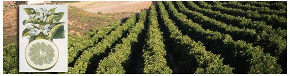 El jugo de toronja inhibe el metabolismo de muchos medicamentos, en varios campos clínicos