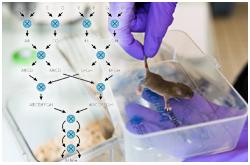 Las cepas endogámicas de ratón proporcionan un espectro de diversidad para la mayoría de los fenotipos