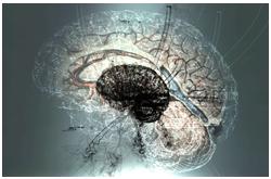 Aspectos clave del crecimiento humano y el desarrollo de la composición corporal son moldeados por las altísimas demandas metabólicas del cerebro en la vida temprana