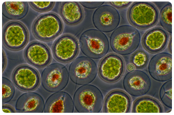 Microalgas Haematococcus spp. and Pandorina spp.