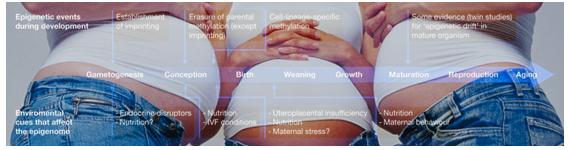 La salud y el estado nutricio maternos durante la gestación y la lactancia tiene efectos a largo plazo en los sistemas centrales y periféricos que regulan el balance energético en los hijos
